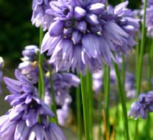 Allium sikkimense