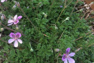Erodium 'Pickering Pink'