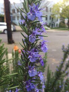 Rosmarinus (Salvia) officinalis 'Carollina'