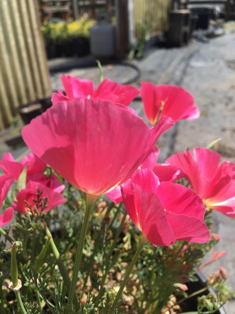 Eschscholzia californica 'Pretty in Pink'