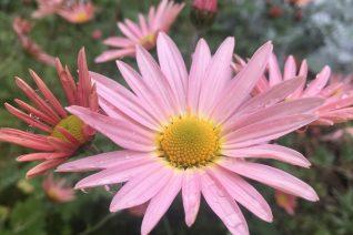 Dendranthema 'Hillside Sheffield Pink'