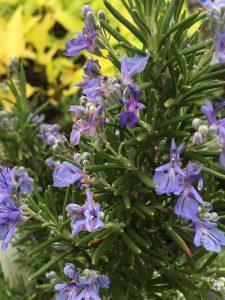 Rosmarinus (Salvia) officinalis 'Ticonderoga'
