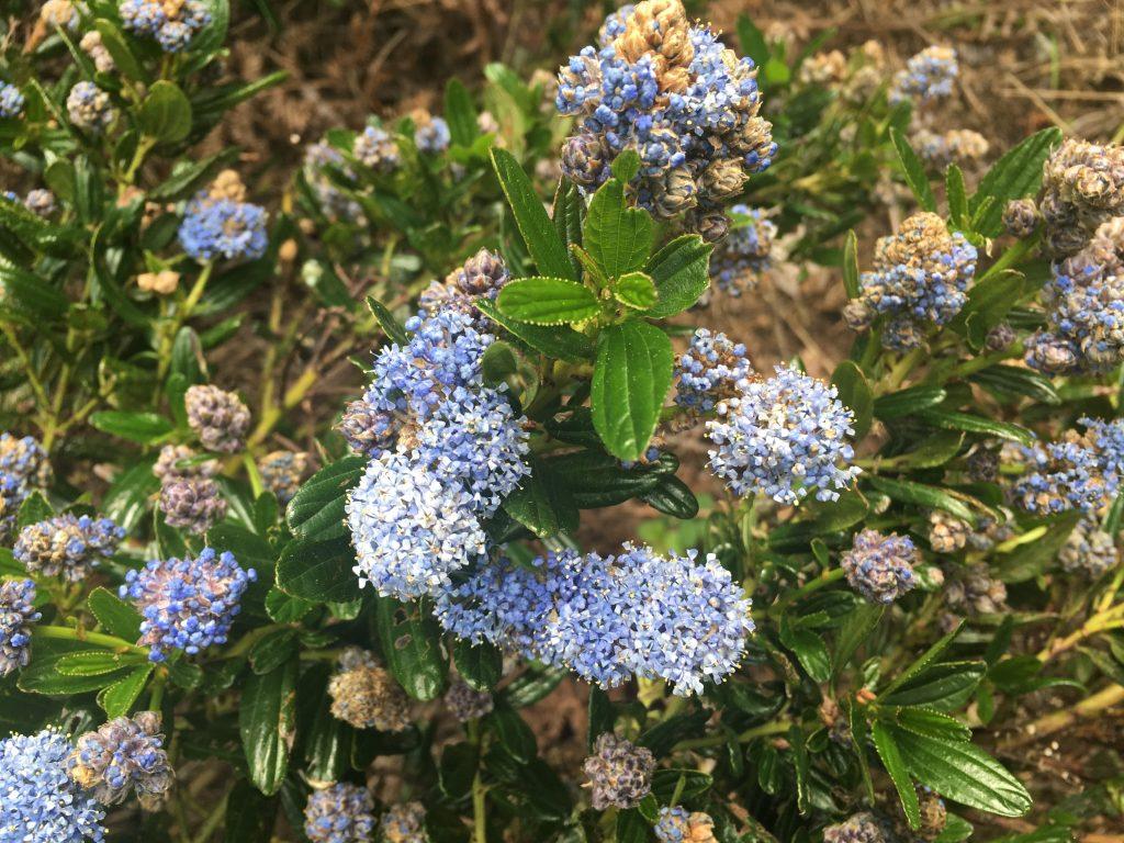 Ceanothus thyrsiflorus 'Oregon Blue'