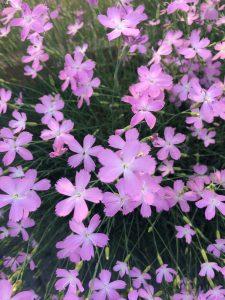 Dianthus 'Pink Pyrenees'