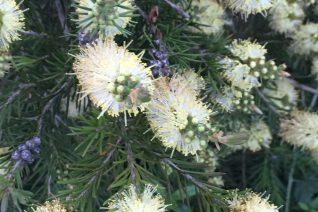 Callistemon (formerly sieberi) pityoides 'Moonlight'