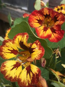 Tropaeolum majus 'Orchid Flame'
