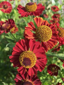 Helenium  'Summer Cinnabar'