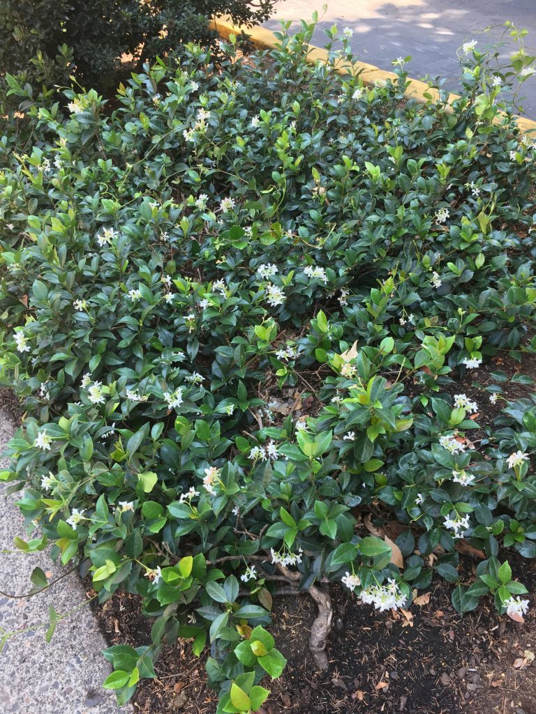 Ground Cover Xera Plants