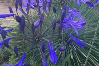 Agapanthus 'Tall Blue Xera'