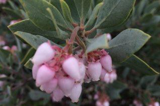 Arctostaphylos glandulosa ssp. glandulosa 'Demeter'