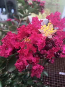 Lagerstroemia indica 'Double Feature'®