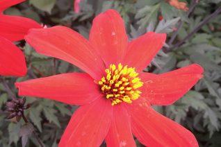 Dahlia 'Red Menace'