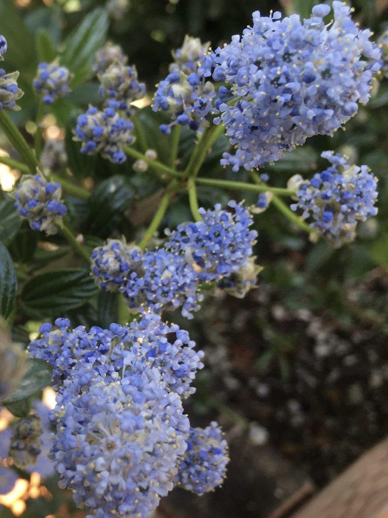 Ceanothus thyrsiflorus 'Umpqua Sky' flower closeup