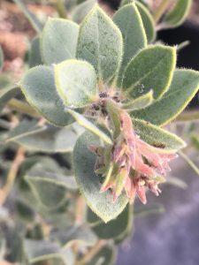 Arctostaphylos pumila 'Grey Leaf Form'