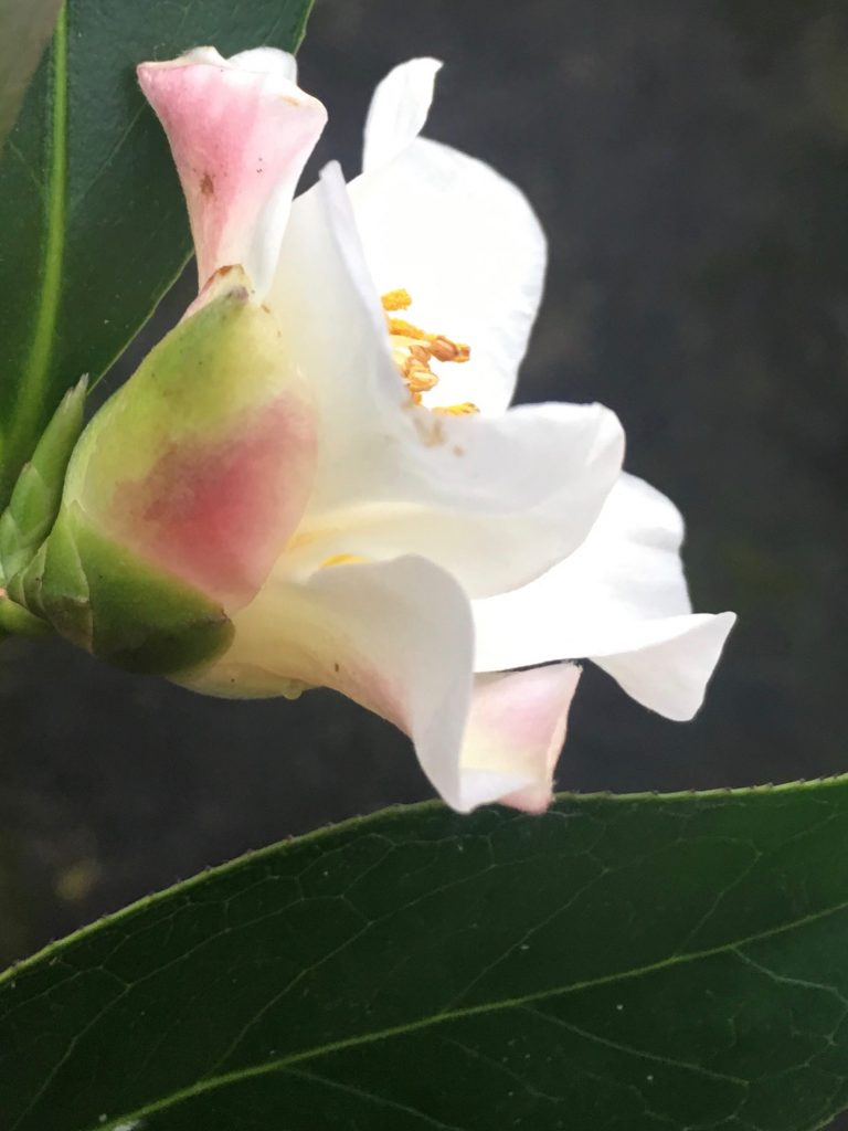 Camellia x cuspidata 'Magi's Mystery'