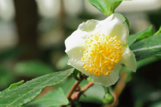 Camellia sinensis (Improved)
