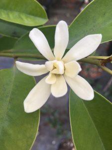 Magnolia compressa var. langyuense