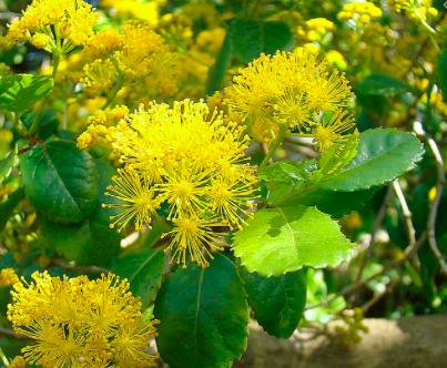 Azara serrata flowers