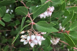 Arctostaphylos hookeri 'James Roof'