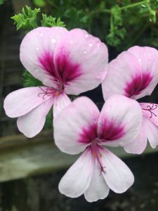 Pelargonium 'Garden Bouquet'