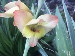 Gladiolus x dalenii 'Boone'