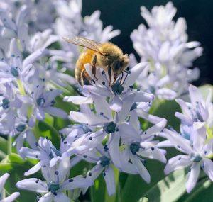 Hyacinthoides (Scilla) lingulata