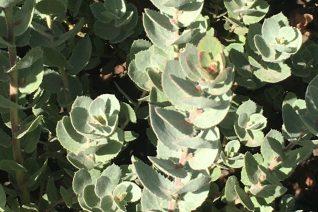 Arctostaphylos auriculata 'Knobcone Point'