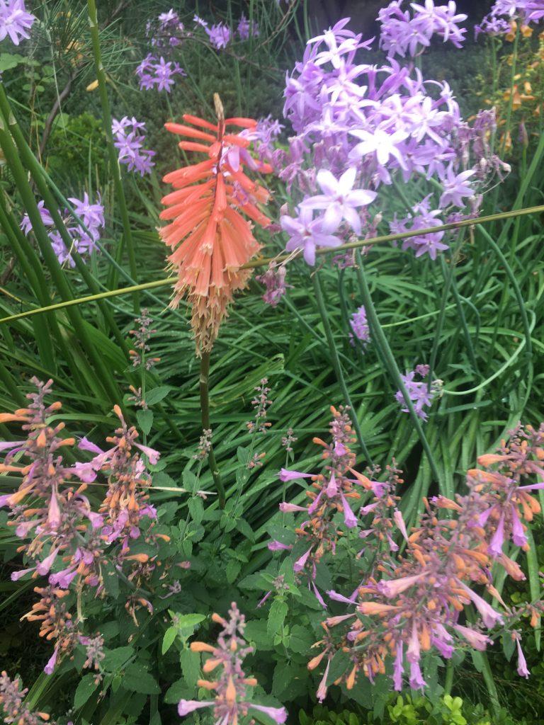 Kniphofia 'Timothy', Tulbaghia violacea 'Edinburgh', and Agastache 'Lilac Moon'