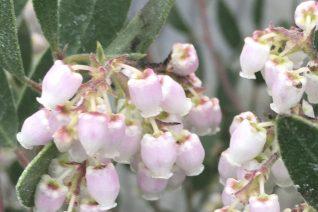 Arctostaphylos densiflora 'Type Form'