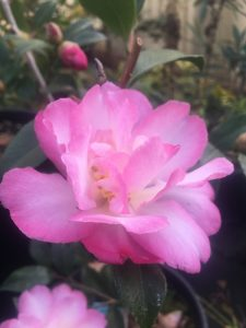 Camellia sasanqua 'Double Rainbow'