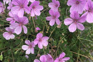 Erodium x 'Merstham's Pink'