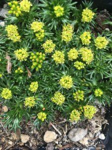 Bolax (Azorella) gummifera