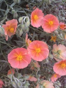 Helianthemum 'Cheviot' Sunrose