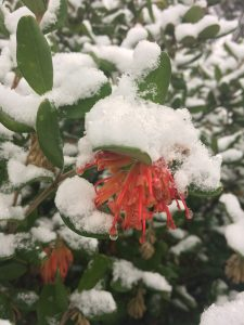 Grevillea miqueliana var moroka blooms through snow