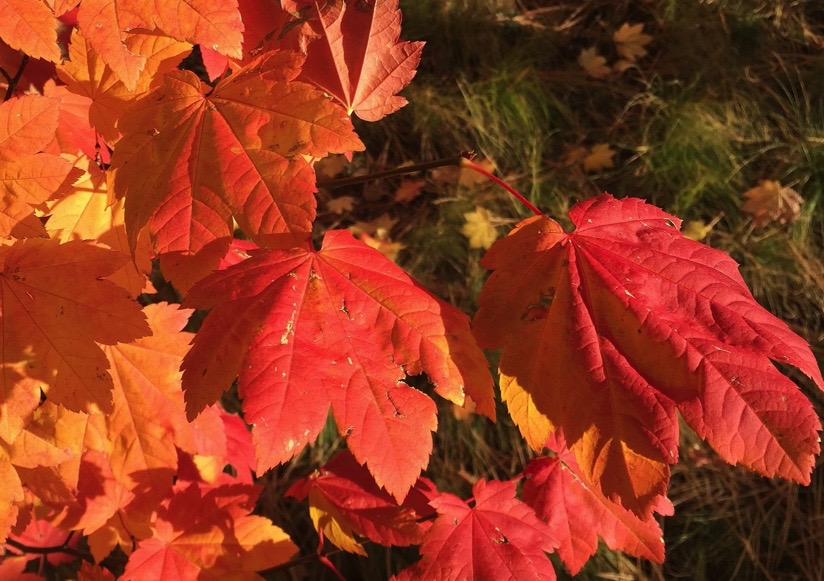 Acer circinatum fall color is red and orange
