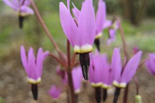 Dodecatheon hendersonii flowers