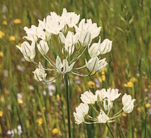 Triteleia hyacinthina
