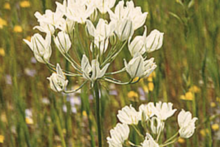 white flowers of Tritelia hyacinthina