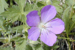 Geranium oreganum flower