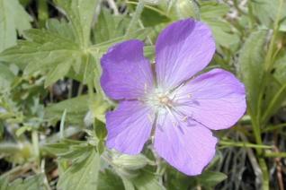 Geranium oreganum flower