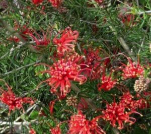 Grevillea juniperina 'Orange Zest'