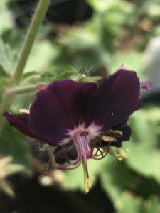Geranium phaeum 'Darkest of All'