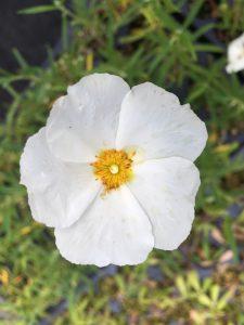 Cistus libanoticum ssp. major