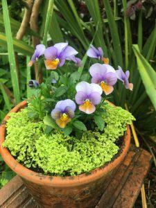 Viola x cornuta 'Xera's Mix'