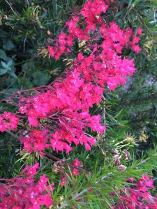 Heuchera sanguinea 'Big Red'