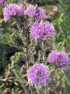 Melaleuca squamea