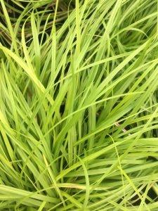 Carex tumulicola 'Willamette Gold'